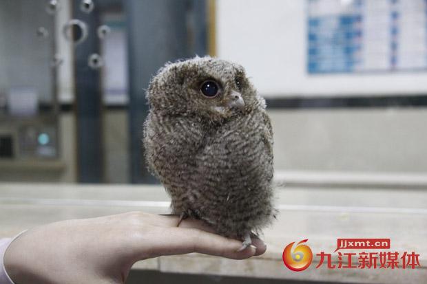市一医院急诊科救助国家二级保护动物领角鸮