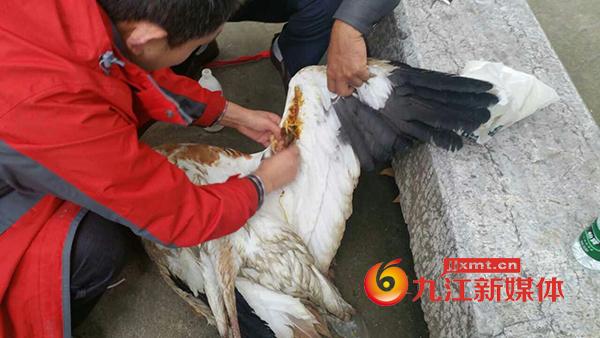 九江救助国家一级保护动物白鹤