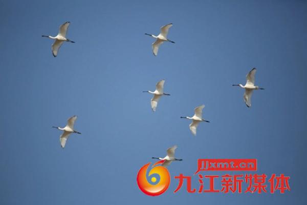 国家二级保护动物白琵鹭飞抵鄱阳湖越冬