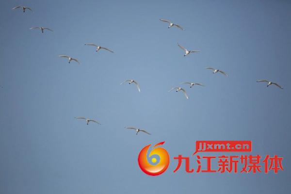 亚博体育app苹果王平:白琵鹭群.jpg