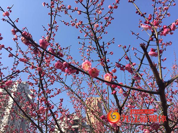 南山公园梅花3.jpg