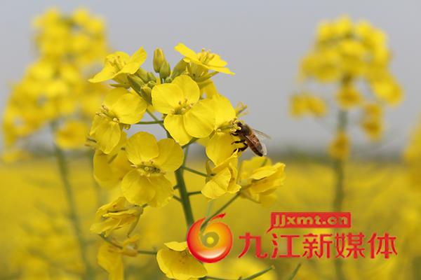 油菜花间蜜蜂忙 (付珍珍 摄).jpg